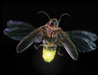 [Image: firefly-glowwyrm.jpg]